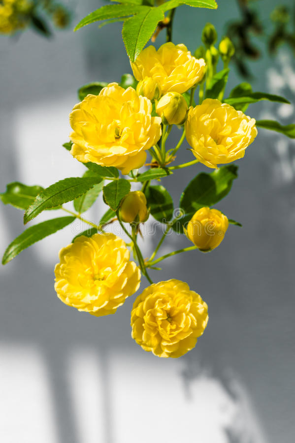 Banks夫人的玫瑰(罗莎Banksiae Lutea)在一致的背景 库存图片