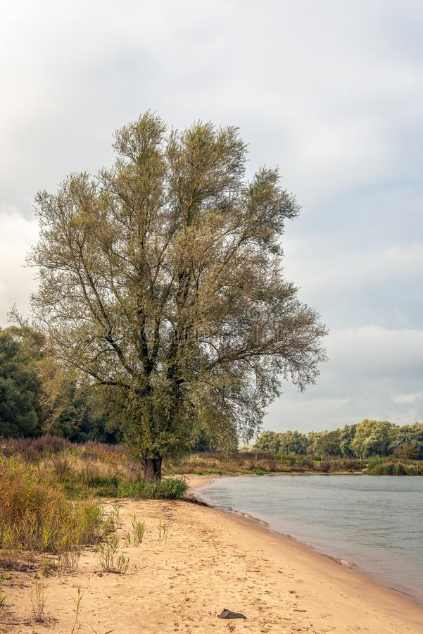 On the banks of the Dutch river Boven Merwede. Tall willow tree on a small sandy beach on the banks of the Dutch river Boven Merwede at the height of the small stock photos