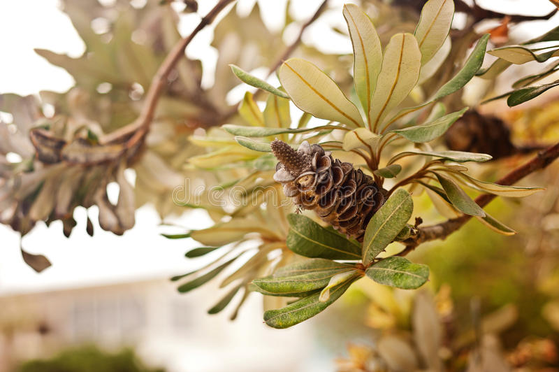 Banksia στοκ εικόνες με δικαίωμα ελεύθερης χρήσης