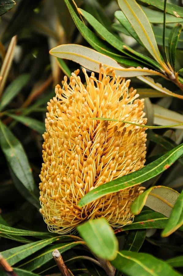 Banksia στοκ φωτογραφία με δικαίωμα ελεύθερης χρήσης