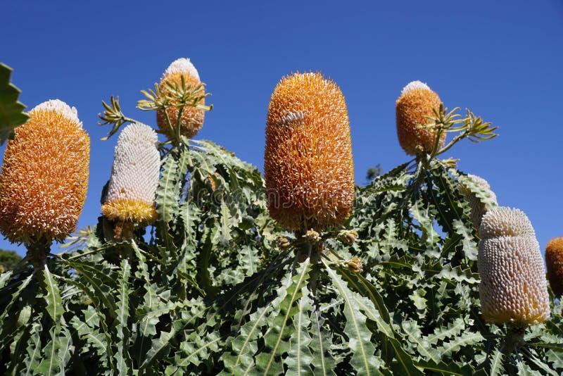 Banksia australien de fleur photo libre de droits