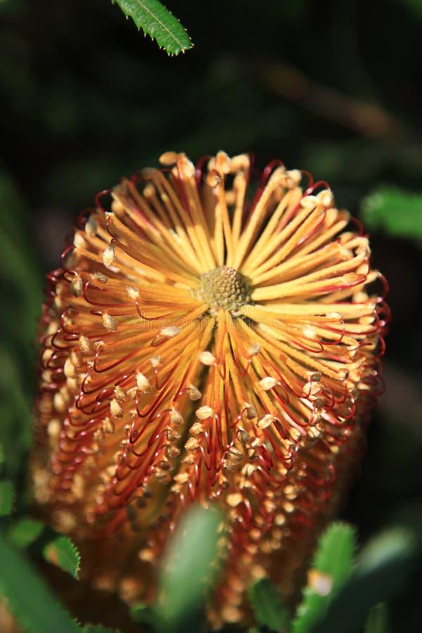 Banksia-Blume lizenzfreie stockbilder