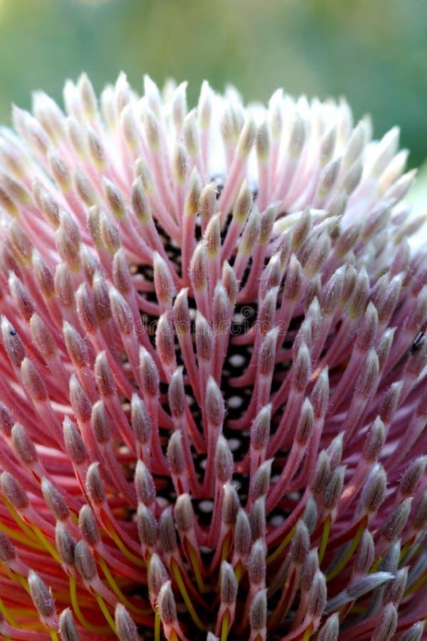 Banksia-Blume stockfotos