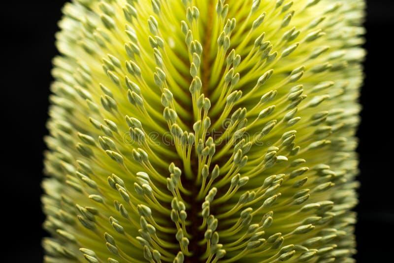 Banksia-Blumen-makro schwarzer Hintergrund lizenzfreies stockfoto