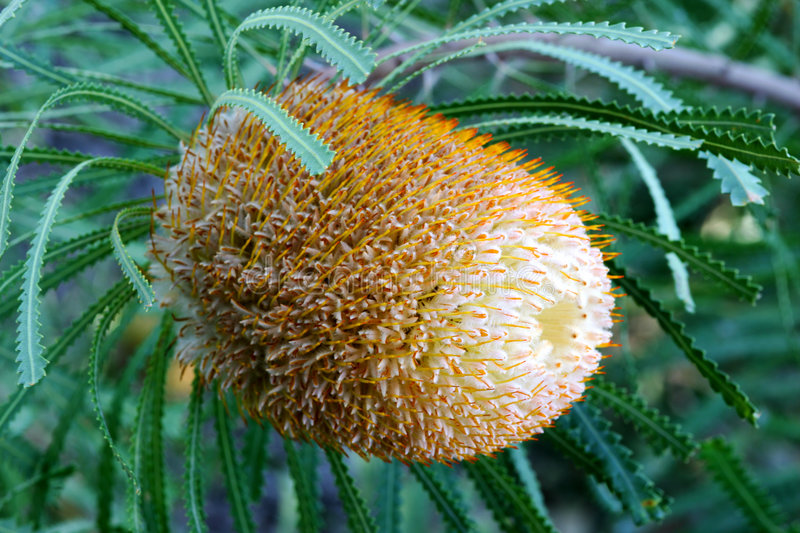 Download Banksia Flower stock photo. Image of firewood, native - 7227692