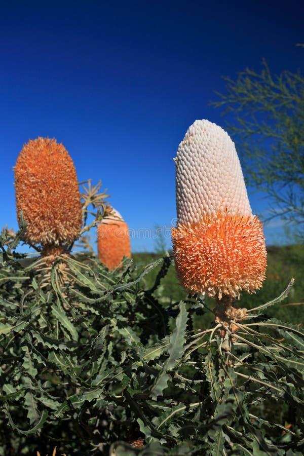 Banksia Flower,Wildflower, Western Australia stock photo