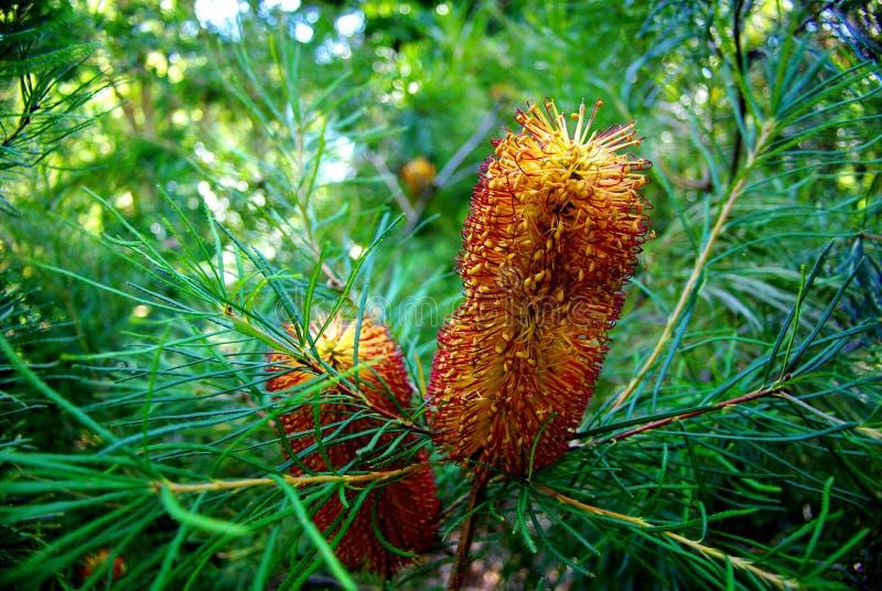 banksia kwiaty zdjęcie royalty free