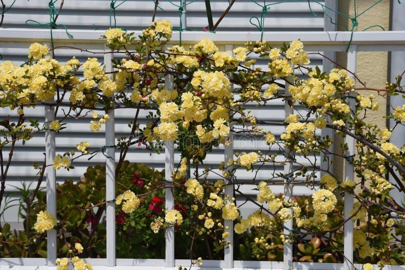 Banksia nam bloesems toe stock foto's