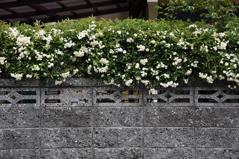 Banksia nam bloesems toe stock afbeelding
