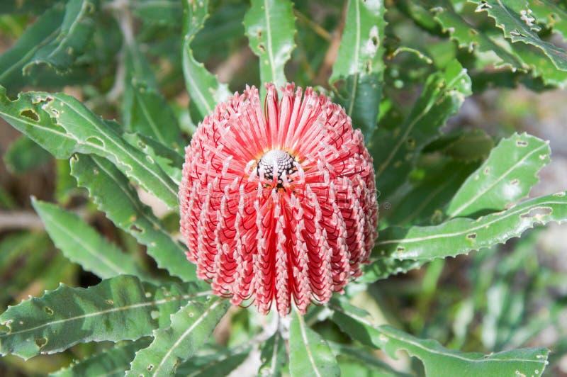 Banksia rose photos libres de droits