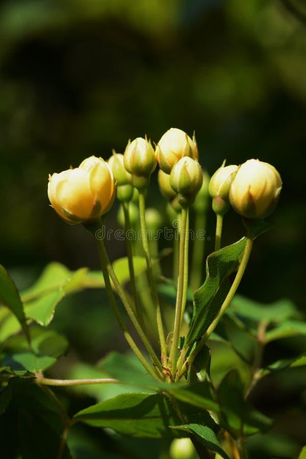 Banksia rose royalty free stock photos