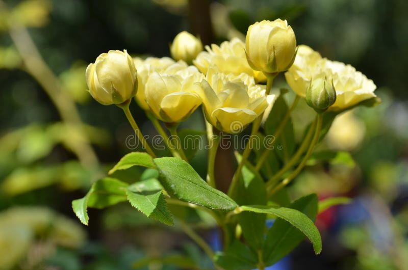 Banksia rose flowers of pale yellow. stock image