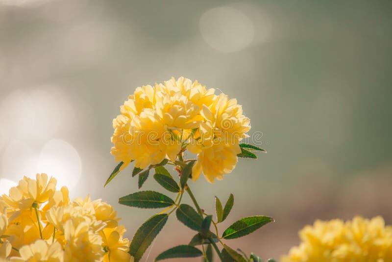 Banksia rose (Rosa banksiae) stock photos