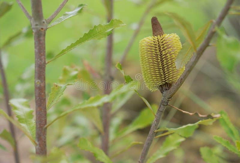 Banksia serrata Australijski rodzimy drzewo obrazy royalty free