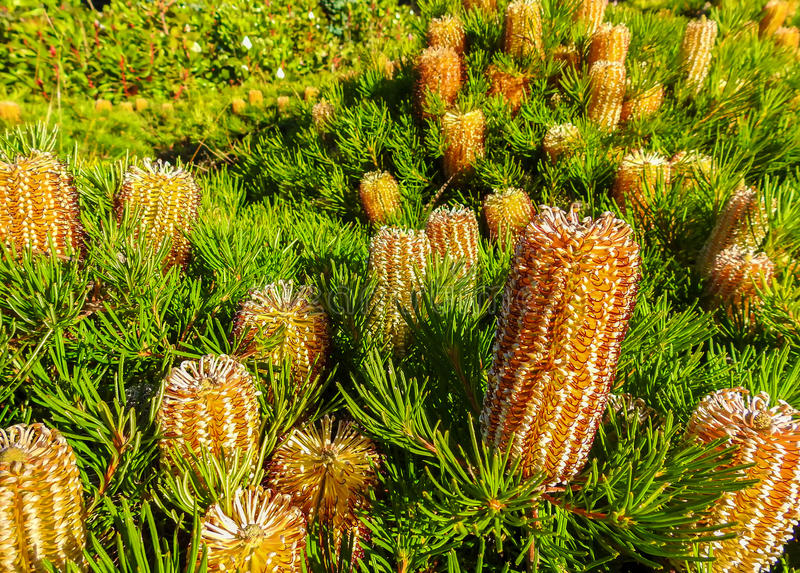 Banksia Spinulosa 2 royalty-vrije stock afbeelding