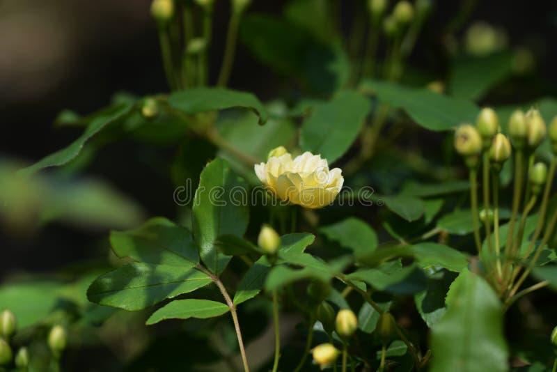 Banksia stieg lizenzfreie stockfotos