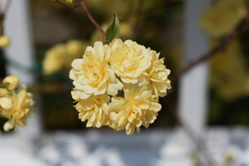 Banksia stieg Blüten lizenzfreie stockfotos