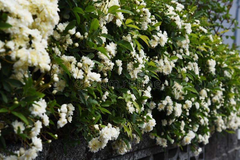 Banksia stieg Bl?ten stockbild