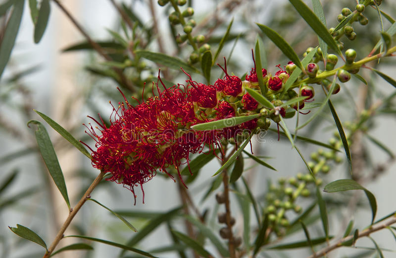 Banksiabloem royalty-vrije stock fotografie