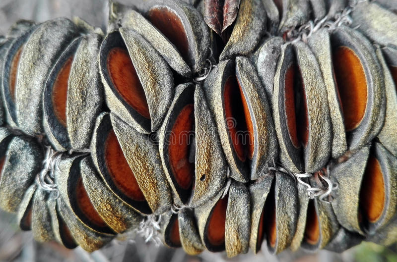 Banksiafruit (zaadpeul) in dichte omhooggaand stock foto's