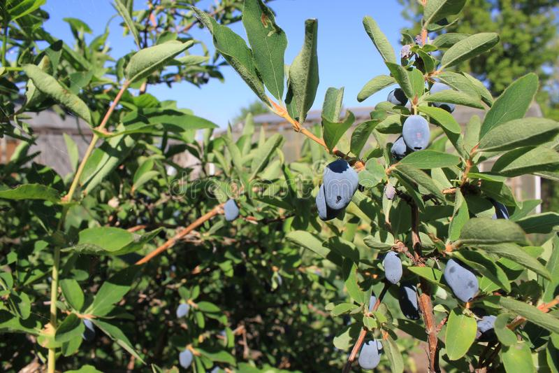 Banksja z jagodami w lato ogródzie 31063 obraz stock