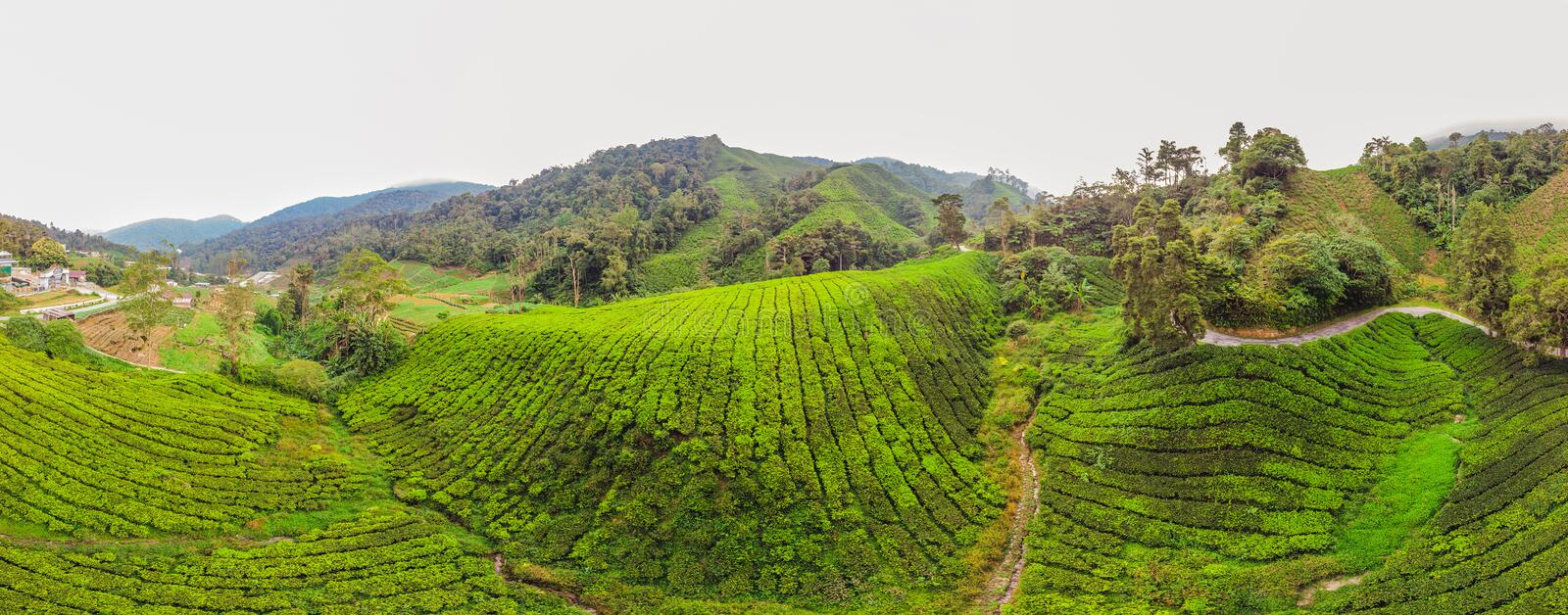 BANNER Amazing landscape view of tea plantation in sunset, sunrise time. Nature background with blue sky and foggy, long format.  royalty free stock photos