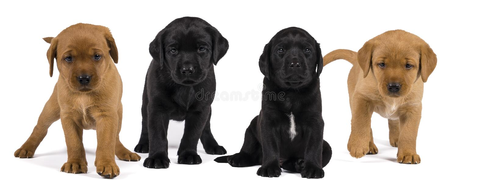 A Banner with black and blonde labrador retriever puppy`s  isolated on white background royalty free stock photos