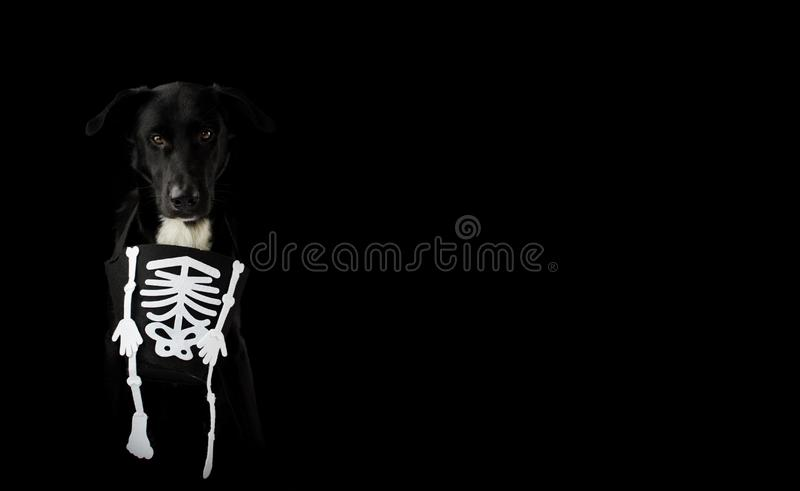 BANNER BLACK AND SPOOKY DOG DRESSED WITH A HALLOWEEN SKULL COSTUME. ISOLATED AGAINST DARK BACKGROUND WITH COPY SPACE. HORIZONTAL. SHOT stock photography