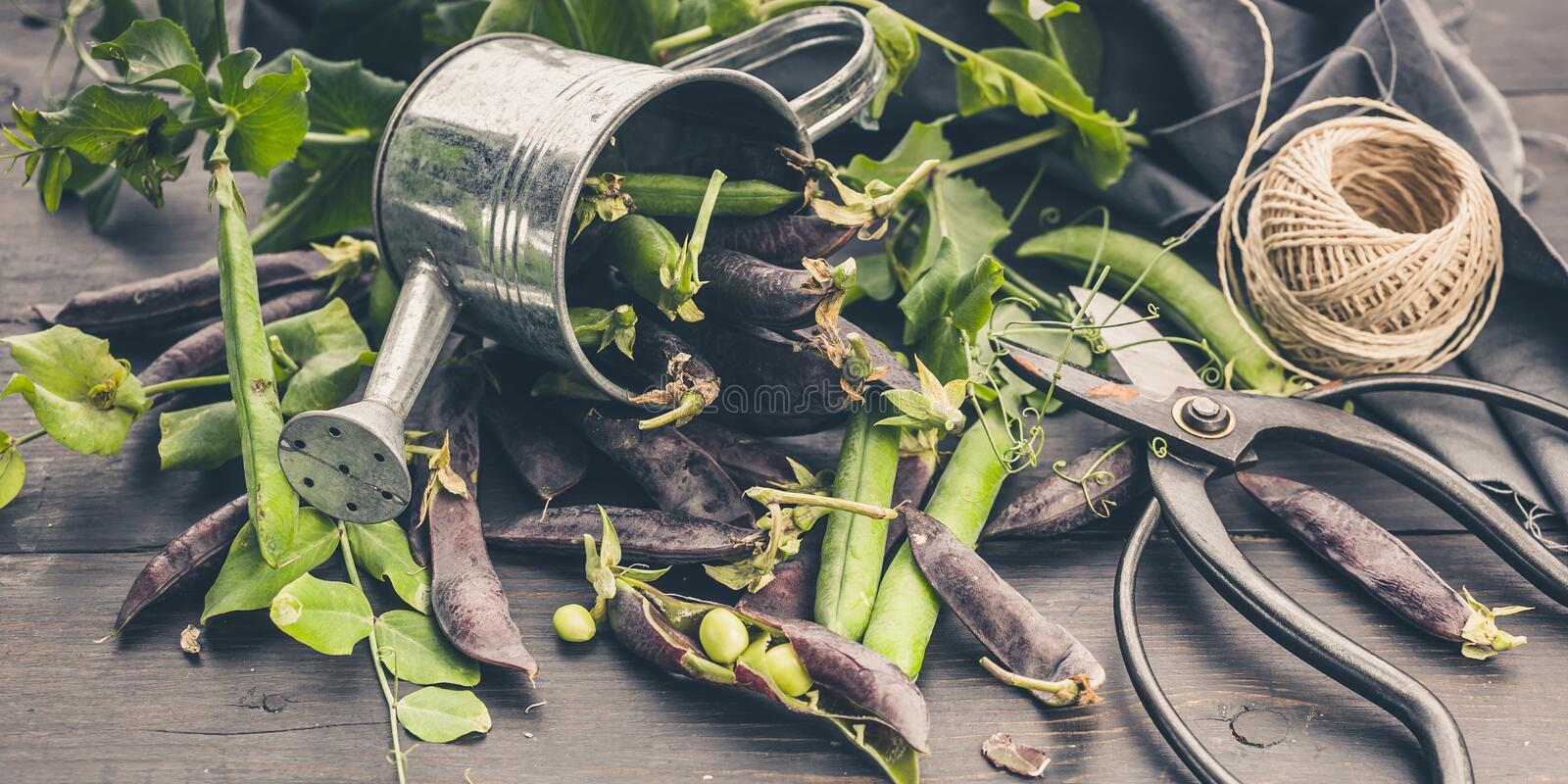 Banner. Black sugar peas in a decorative watering can on a dark rustic background. Vintage composition. Farm Organic Products stock photo