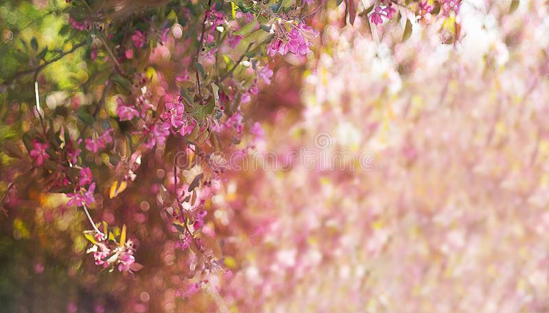 Banner blooming pink apple trees in spring stock photo