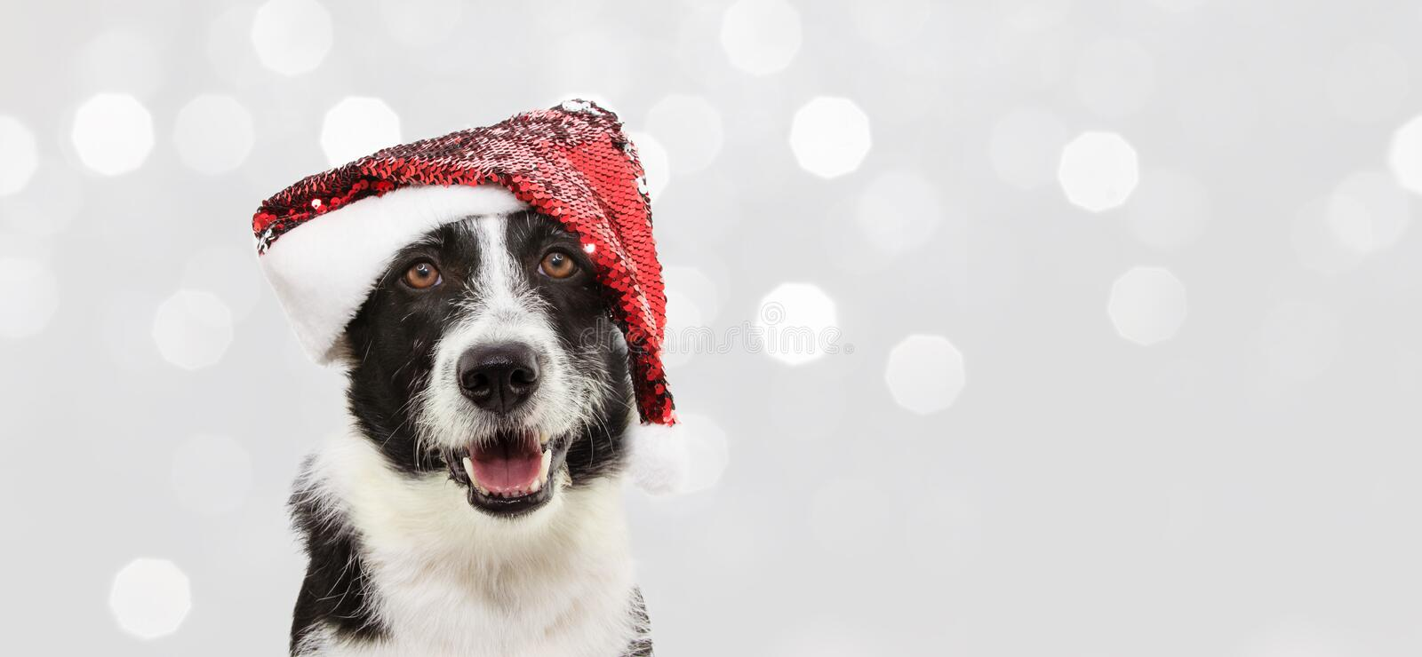 Banner border collie dog celebrating christmas holidays wearing a red santa claus hat. Isolated on gray background stock photo