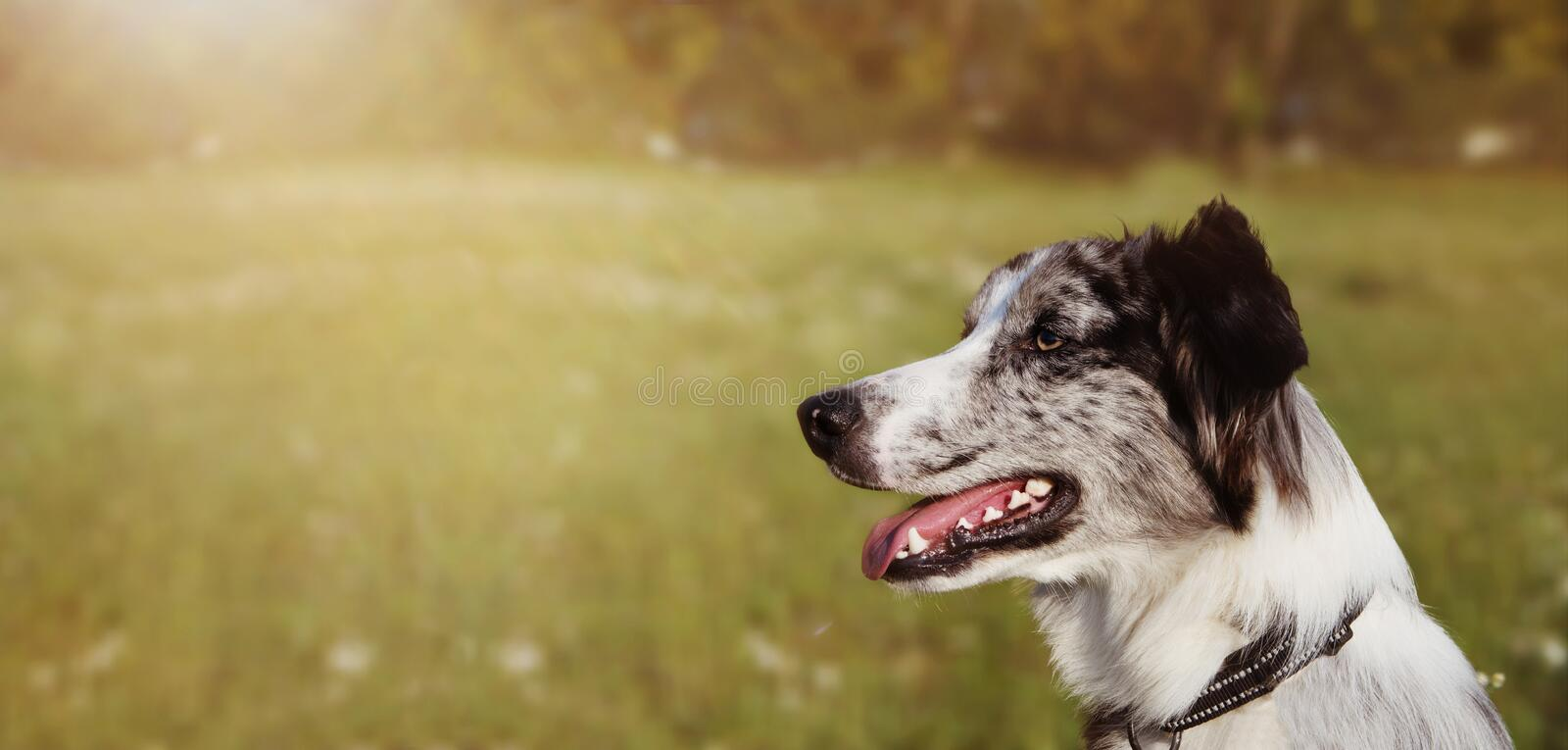 BANNER BORDER COLLIE SCOTTISH  DOG LOOKING SIDE IN GREEN GRASS. CLOSE-UP PORTRAIT WITH SUNSETLIGHT stock photos