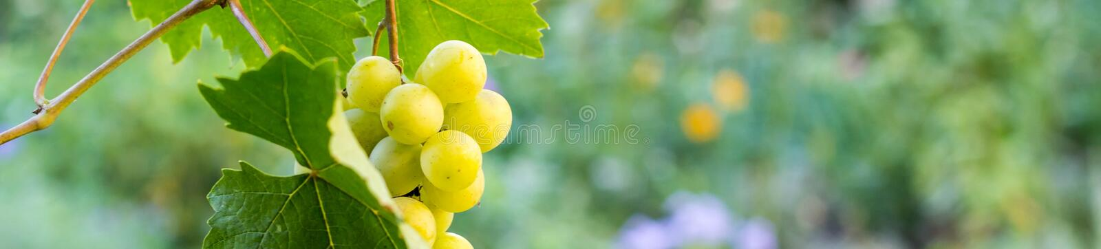 banner of Bunches of white grapes hanging in vineyard against at green and yellow background during sunset royalty free stock photography