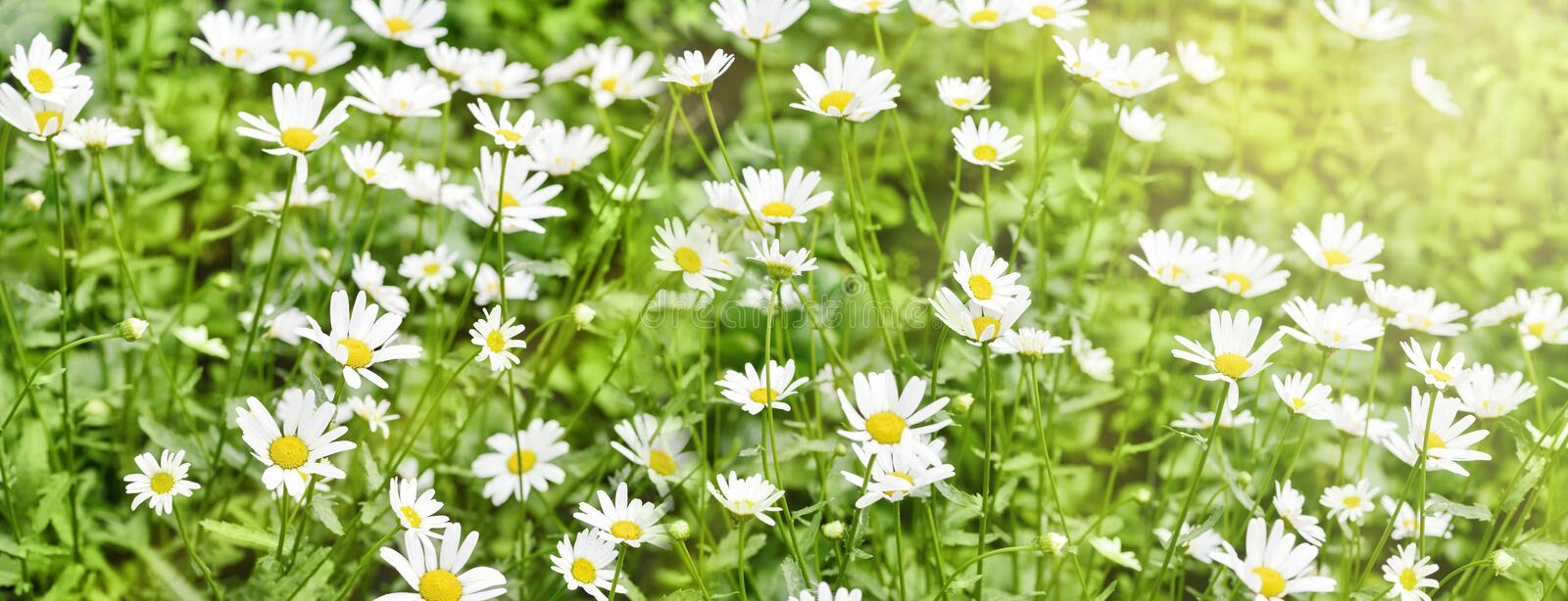 Banner of chamomile field of white beautiful daisies. Elongated photo stock images