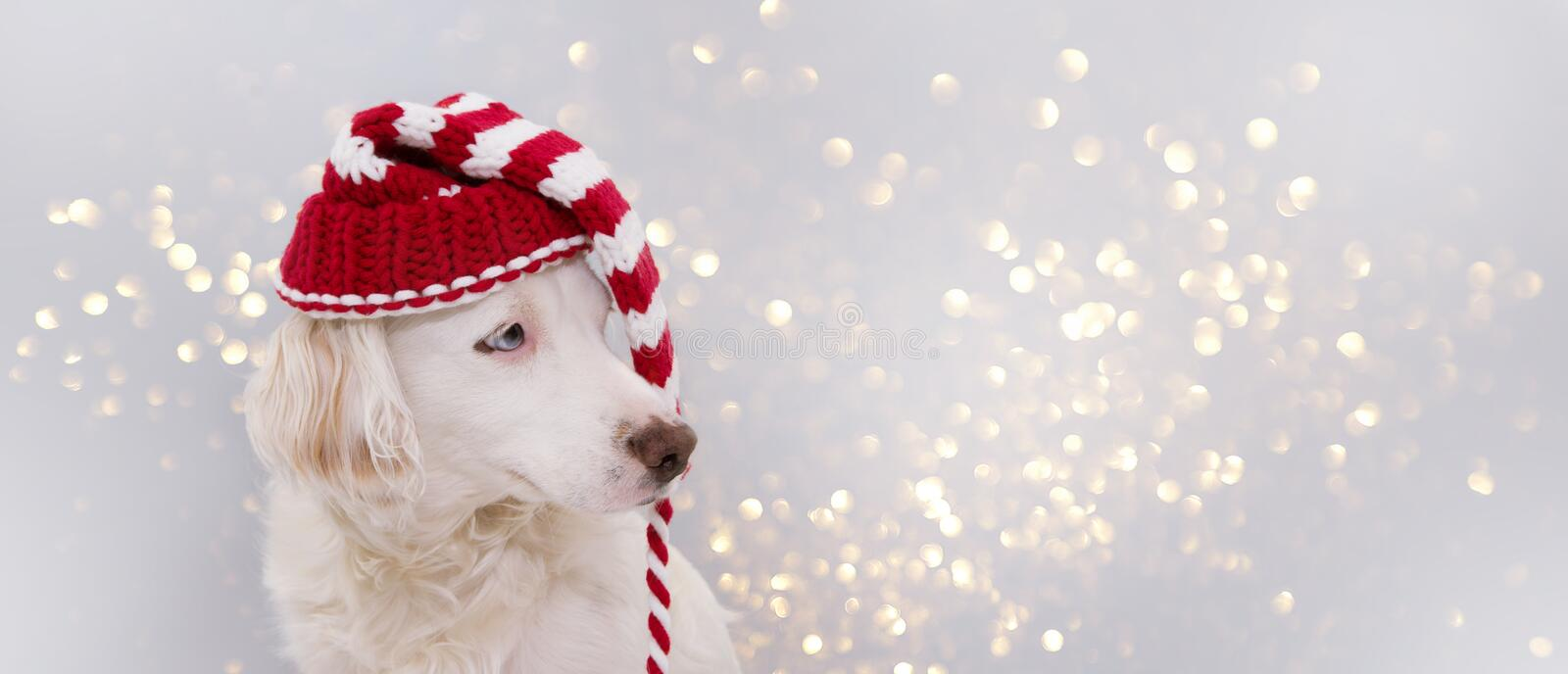 BANNER CHRISTMAS DOG HAT. CUTE PUPPY WEARING A STRIPED RED SANTA CAP  WITH BLUE EYES. ISOLATED AGAINST GRAY BACKGROUND AND royalty free stock photo