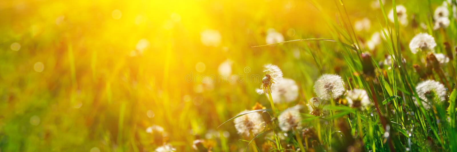 Banner 3:1. Close up dandelion flowers with sunlight rays. Spring background. Copy space. Soft focus royalty free stock photos