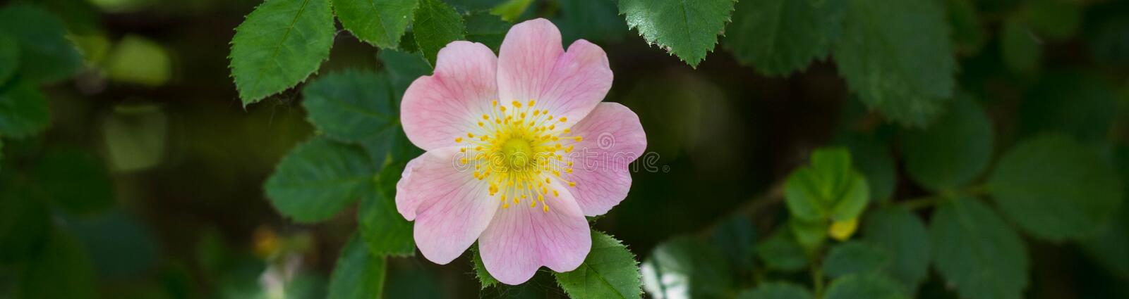 Banner of Close up of a dog rose, Rosa canina, with green leaves in summer royalty free stock image