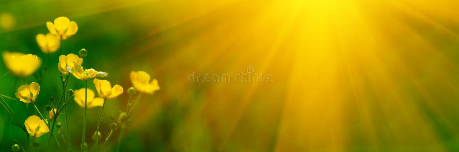 Banner 3:1. Close up meadow buttercup flowers Ranunculus acris with sunlight rays. Spring background. Copy space. Soft focus stock photos