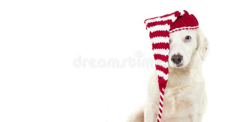 BANNER OF A CUTE CHRISTMAS DOG WEARING A STRIPED RED HAT WITH BL stock photo