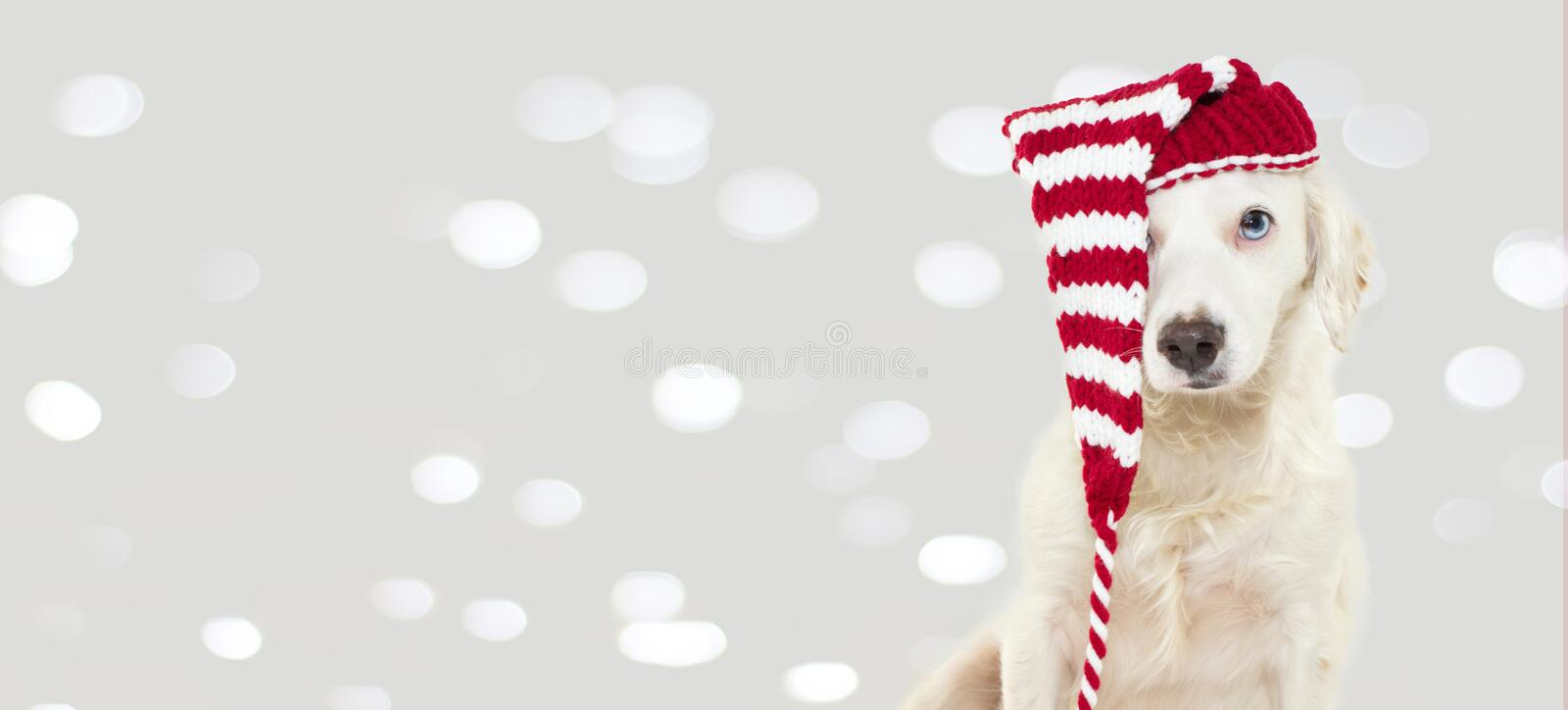 BANNER OF A CUTE CHRISTMAS DOG WEARING A STRIPED RED HAT WITH BL royalty free stock photography