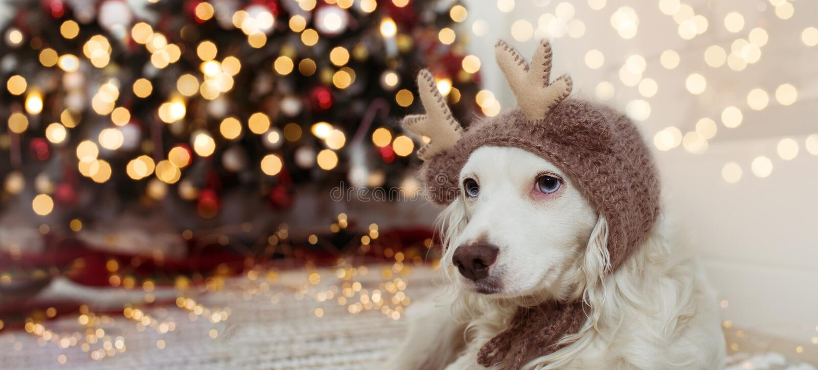BANNER CUTE DOG UNDER CHRISTMAS TREE LIGHTS CELEBRATING HOLIDAYS WEARING A REINDEER ANTLERS HAT royalty free stock image