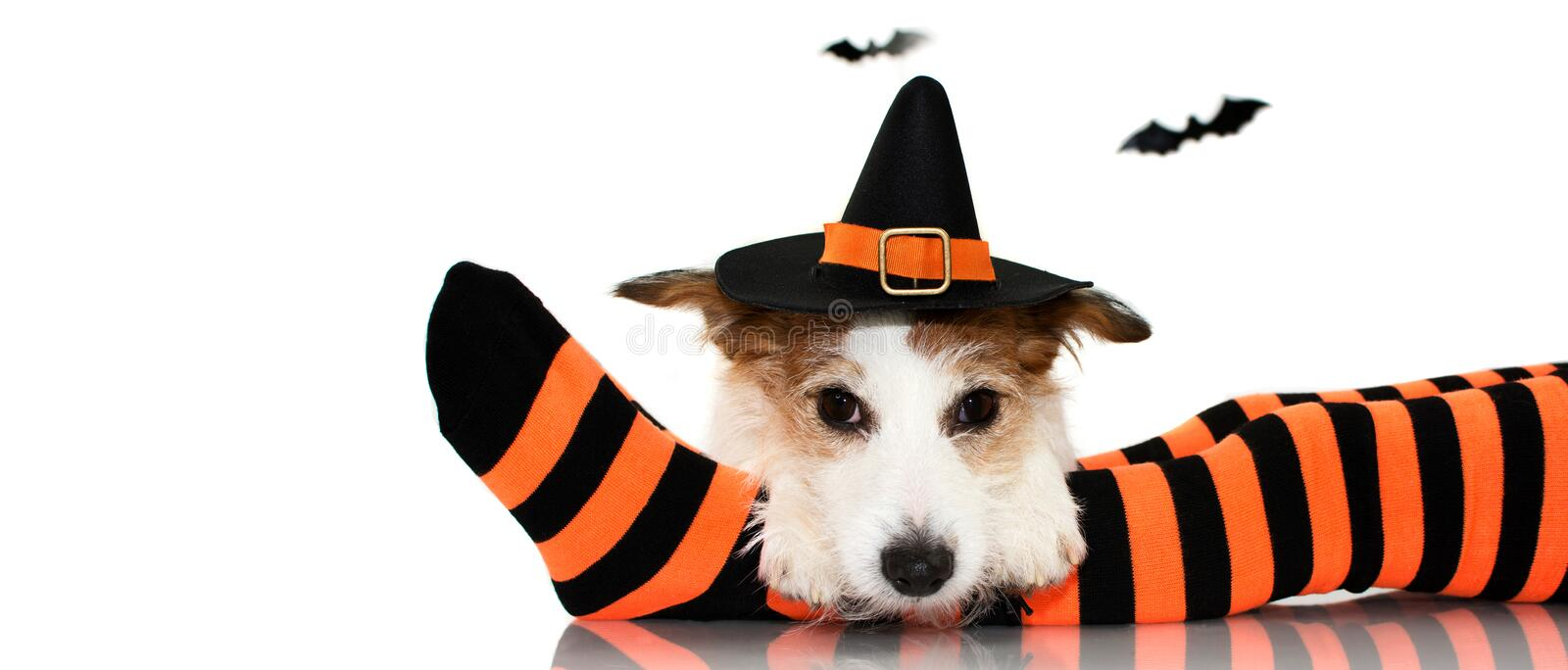 BANNER OF A CUTE HALLOWEEN DOG WEARING A WITCH OR WIZARD HAT SIT. TING OVER STRIPED ORANGE AND BLACK SOCKS OF ITS CHILD OWNER. ISOLATED AGAINST WHITE BACKGROUND stock image