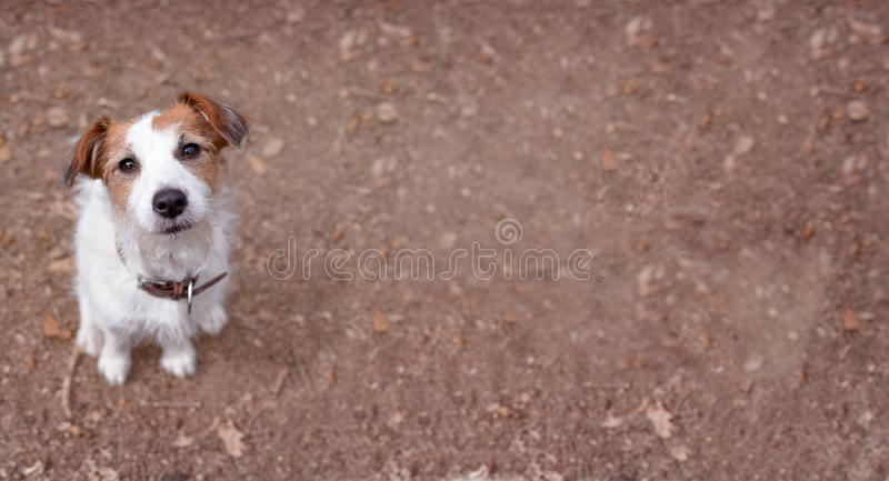 CUTE JACK RUSSELL DOG LOOKING UP ON BROWN AUTUMN BACKGROUND. stock image