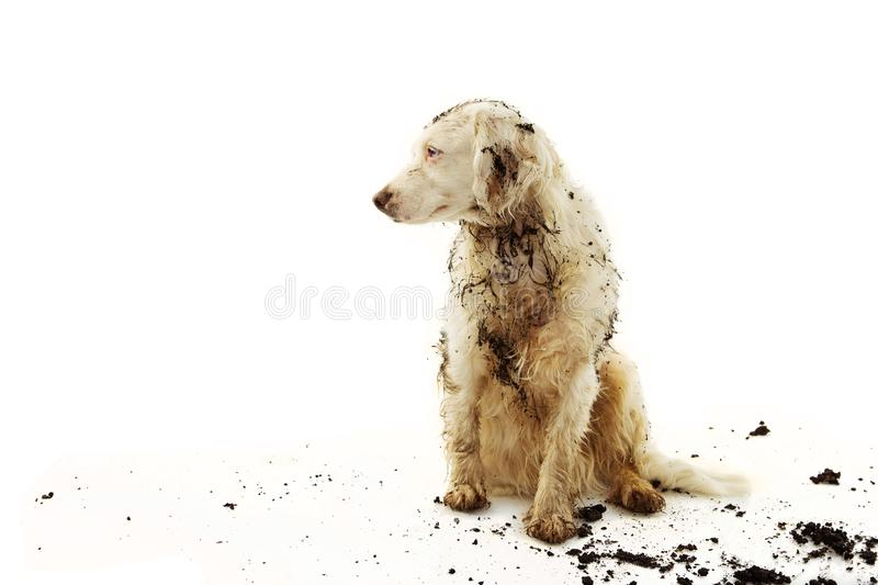 BANNER DIRTY TERRIER DOG ISOLATED. SAD PUPPY AFTER PLAY IN A MUD PUDDLE WITH ON WHITE BACKGROUND stock photo