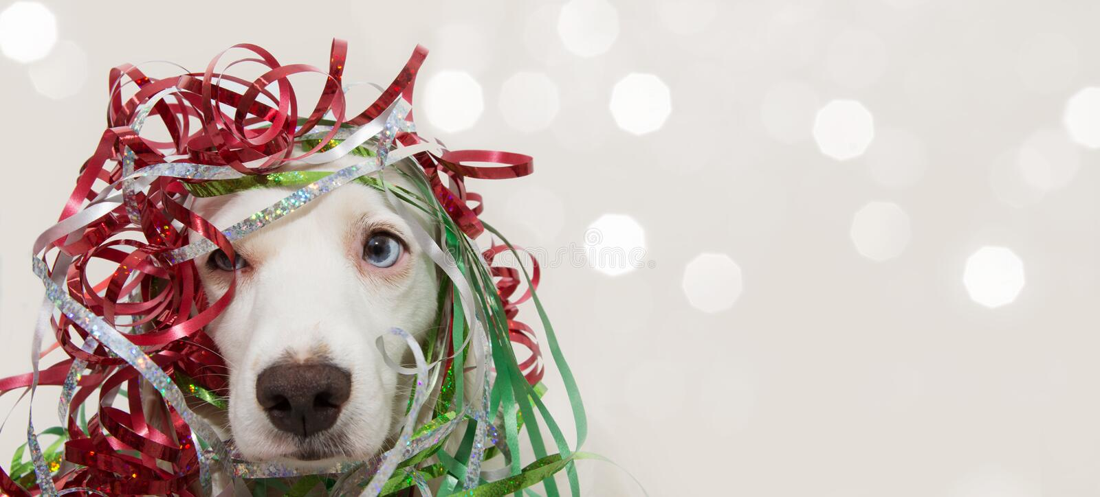 BANNER DOG HAVING A PARTY WITH SERPENTINE STREMERS FOR BIRTHDAY, NEW YEAR, CHRISTMAS, CARNIVAL OR ANNIVERSARY. ISOLATED ON GRAY stock photography