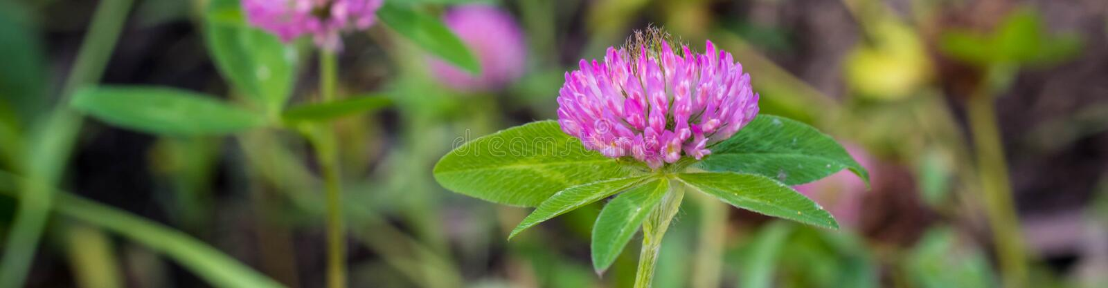 Banner of flower of a pink clover grows in the field with a green grass. Nature, plant, flora, leaf, herb, herbal, purple, red, petal, summer, blossom, natural royalty free stock photo