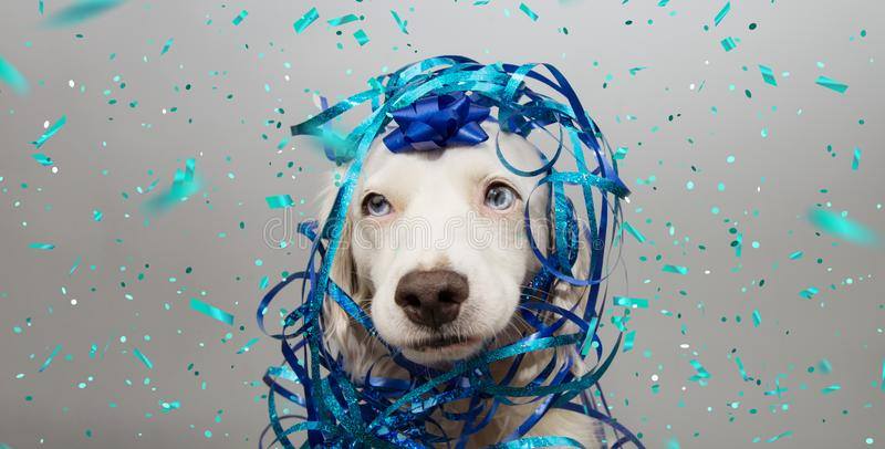 Banner funny dog party. Puppy celebrating birthday, anniversary, carnival or new year with a blue ribbon on head and serpentine. stock photography