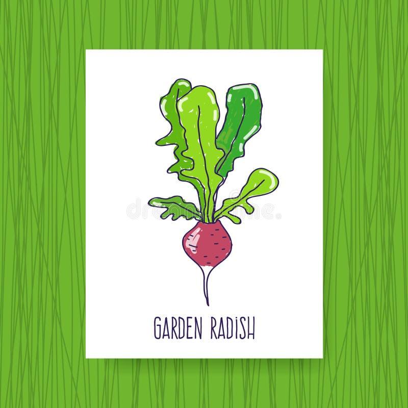Banner Garden radish. Hand drawn vector illustration vector illustration