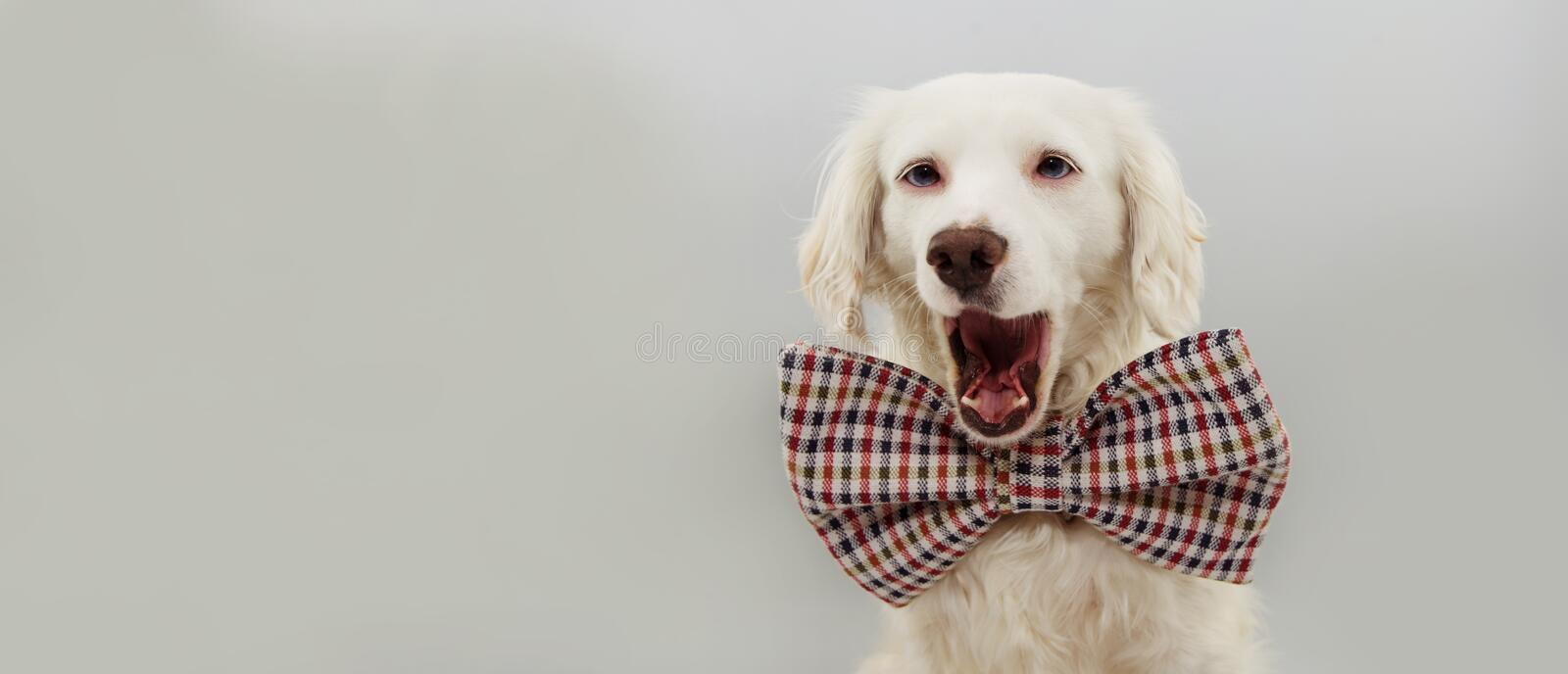 BANNER HAPPY DOG CELEBRATING A BIRTHDAY, NEW YEAR OR  CARNIVAL PARTY. WEARING A VINTAGE BOW TIE. ISOLATED AGAINST GRAY COLORED stock image