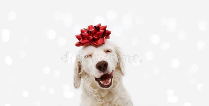 Banner happy dog present for christmas, birthday or anniversary, wearing a red ribbon on head. isolated against white background stock photo